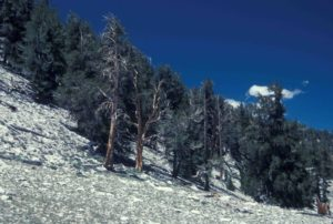 Photograph of Bristlecone National Forest, White Mts, CA