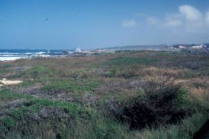 Photograph of coastal vegetation, near Monterrey, CA