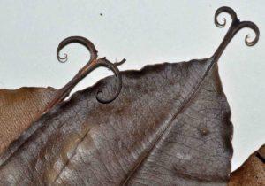 Photograph of Dioncophyllum thollonii
