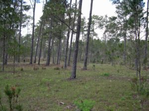 Photograph of pine forest in Bahoruco, Dominican Republic