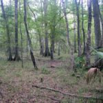 Photograph of bottomland forest, Jones Mill, Aucilla