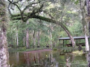 Photograph of bottomland forest, Devil's Hammock, Levy County, FL
