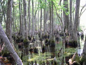 Photograph of basin swamp, Snipe Island Unit, FL