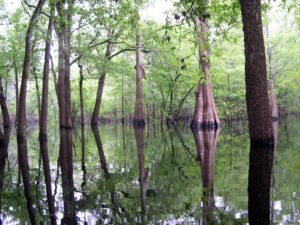 Photograph of basin swamp, near the Suwanee River, FL