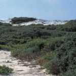 Photograph of coastal scrub, Grayton Beach, FL