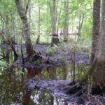 Photograph of floodplain swamp, Aucilla River, FL