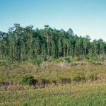 Photograph of dome swamp, Putnam County, FL