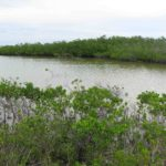 Photograph of mangrove swamp, Big Pine Key, FL