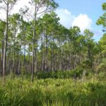 Photograph of mesic flatwoods, Tide Swamp, FL