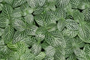 Photograph of Fittonia albivenis