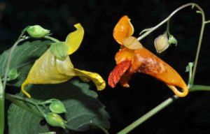Photograph of Impatiens pallida and I. capensis
