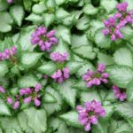 Photograph of Lamium maculatum