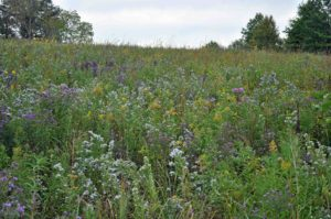 Photograph of prairie at Shaw Nature Reserve, MO