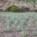 Photograph of maguey field in Mexico