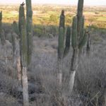 Photograph of cacti in landscape near Tehuacan, Mexico