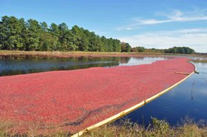 Photograph of cranberry bog, Brendan Byrne State Forest, NJ