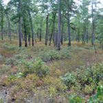 Photograph of pine barrens, near Martha, NJ