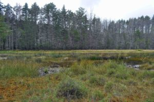 Photograph of lanscape in bog and swamp, near Martha in Pine Barrens, NJ