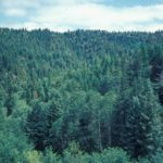 Photograph of coniferous forest, OR