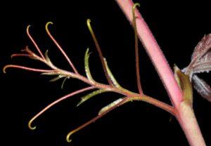 Photograph of Parthenocissus quinquefolia