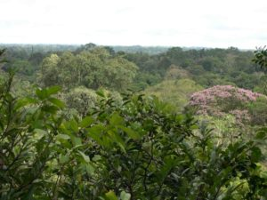 Photograph of forest canopy from walkway, Peru