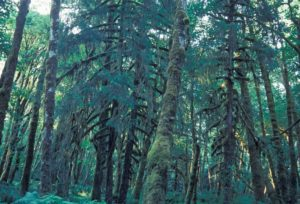 Photograph of woods in Olympic National Forest, WA